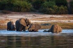 Flock av elefanter som korsar den Chobe floden i den Chobe nationalparken, Botswana Fotografering för Bildbyråer