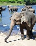 Flock av elefanter som tar badet i den grova floden på solig dag Arkivfoton