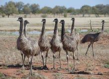 Flock av emu arkivbild