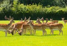 Flock av engelsk bygd nya Forest Hampshire sydligt UK för lösa hjortar Royaltyfria Foton