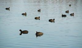 Flock av europeiska sothönor Royaltyfri Bild