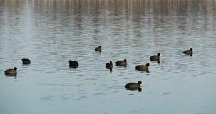 Flock av europeiska sothönor Royaltyfri Fotografi