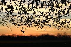 Flock av fågelkonturn på solnedgången Royaltyfri Foto