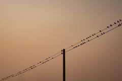 Flock av fågeln över elektrisk linje Royaltyfria Bilder