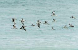 Flock av fåglar över det karibiska havet royaltyfri fotografi