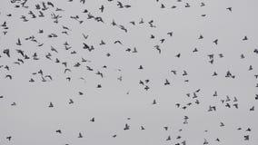 Flock av fåglar, duvor som svärmer mot en blå himmel med moln arkivfilmer