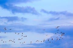 Flock av fåglar i den blåa himlen med moln Royaltyfria Bilder