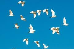 Flock av fåglar i den blåa skyen Arkivfoto