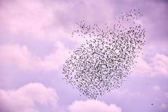 Flock av fåglar i lila himmel royaltyfria foton