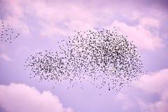 Flock av fåglar i lila himmel royaltyfri bild