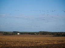 Flock av fåglar på den södra vägen Royaltyfria Foton