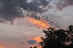 Flock av fåglar på skymninghimmel royaltyfria foton