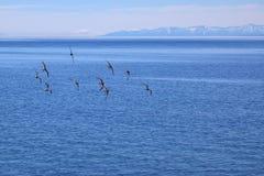 Flock av fåglar som flyger över vatten fotografering för bildbyråer