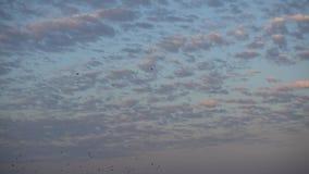 Flock av fåglar som flyger bort på solnedgånghimlen arkivfilmer