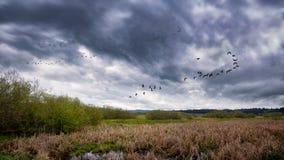 Flock av fåglar som flyger nära ett träsk arkivbild