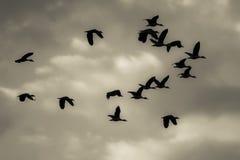 Flock av fåglar som hem går tillbaka royaltyfria foton