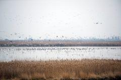 Flock av fåglar som tar flyg Royaltyfria Foton