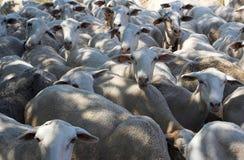 Flock av får Royaltyfri Foto