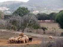 Flock av får Arkivfoton