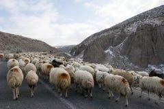 Flock av får Arkivbild