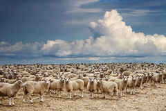 Flock av får arkivfoto