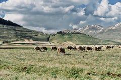 Flock av får - Castelluccio di Norcia fotografering för bildbyråer