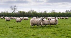 Flock av får i äng Arkivfoto