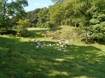 Flock av får i äng Fotografering för Bildbyråer