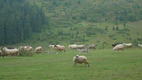 Flock av får i äng på grönt gräs lager videofilmer