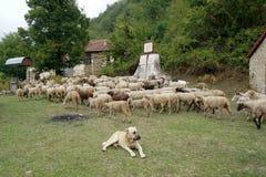 Flock av får i ängen Arkivbild