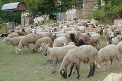 Flock av får i ängen Royaltyfri Bild