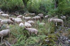Flock av får i ängen Fotografering för Bildbyråer