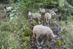 Flock av får i ängen Royaltyfri Fotografi