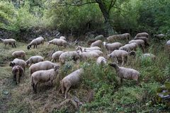 Flock av får i ängen Arkivfoto