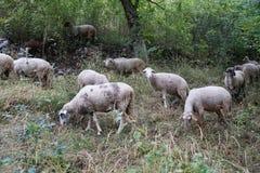 Flock av får i ängen Arkivbilder