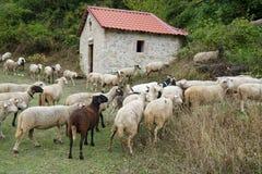 Flock av får i ängen Royaltyfria Foton