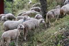Flock av får i ängen Arkivfoton