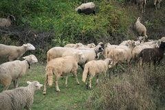Flock av får i ängen Royaltyfri Foto