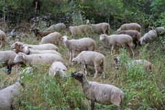 Flock av får i ängen Royaltyfria Bilder