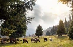 Flock av får i bergen arkivfoto