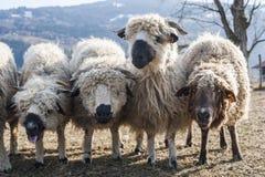 Flock av får i en torr betesmark Royaltyfri Foto