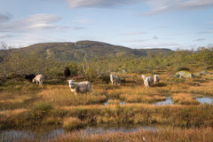 Flock av får i ett berglandskap i Norge Royaltyfri Bild