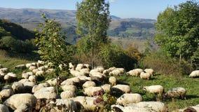 Flock av får i höst Fotografering för Bildbyråer