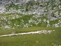 Flock av får i italienska fjällängar Arkivfoton