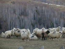 Flock av får i Magura i Rumänien royaltyfria bilder
