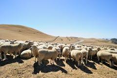Flock av får i Nya Zeeland Royaltyfri Foto