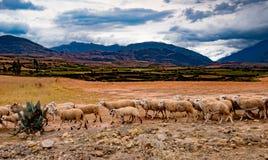 Flock av får i Peru royaltyfri foto