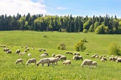 Flock av får i Polen fotografering för bildbyråer