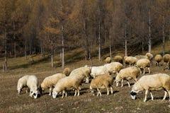 Flock av får i skogen arkivbild