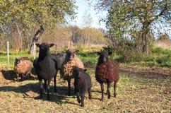 Flock av får i trädgården royaltyfri bild
